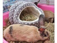 4 female Rabbits, plus Hutch