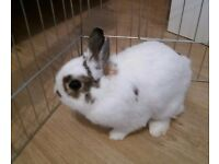 White Male Netherland Dwarf Pure Breed Rabbit