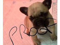 French Bulldog Puppy For Sale KC Reg male