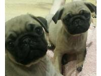 Pug puppies for sale. 5 generation pedigree
