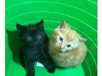 Lovely fluffy kittens for sale