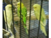 young budgies for sale.