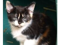 persian cross kitten - little girl