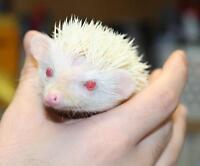 Hérisson nain Africain Albino / Dwarf Albino African hedgehog