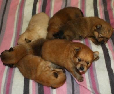 6 x Pomeranian Puppies for sale (purebred parents) Calliope Gladstone Surrounds Preview