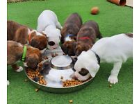 A wonderful litter of brindle German Boxer puppies