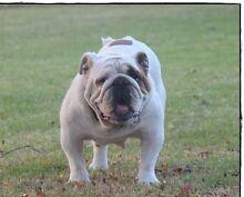 British Bulldog For Sale Nanango South Burnett Area Preview