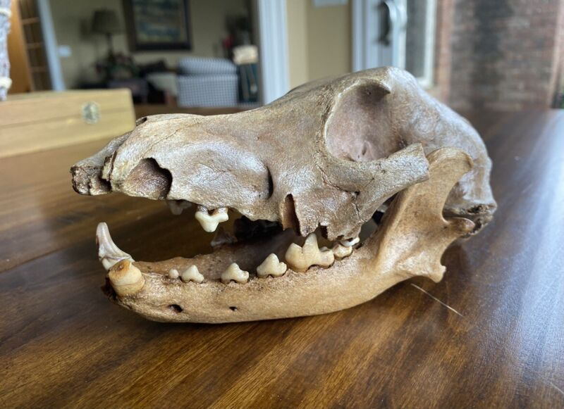 EXTREMELY RARE Fossil Dog Skull - Found On Celtic Roman Site - Iron Age