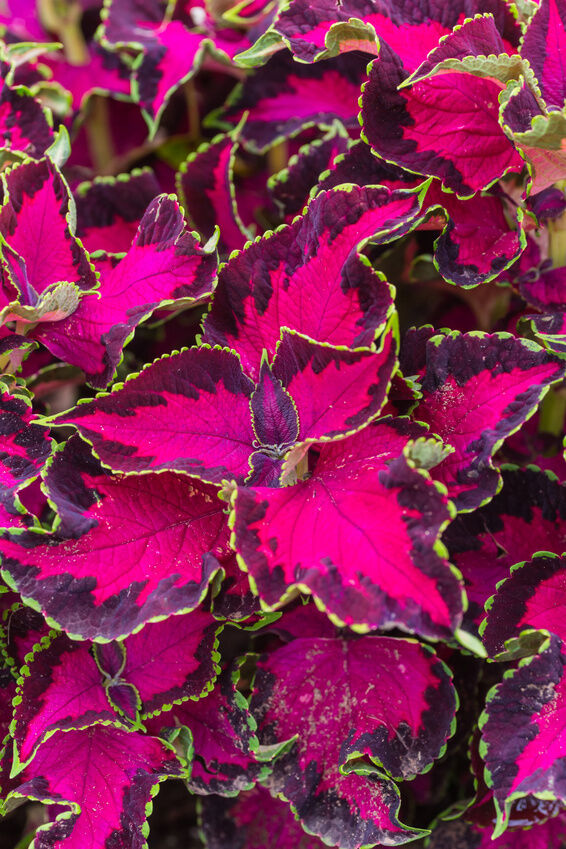 How to Care for Coleus Plants