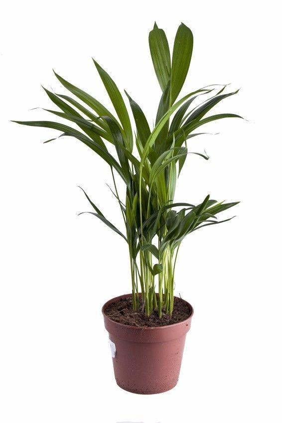 """Die schöne Zimmerpflanze """"Bergpalme"""" verbessert das Raumklima !"""