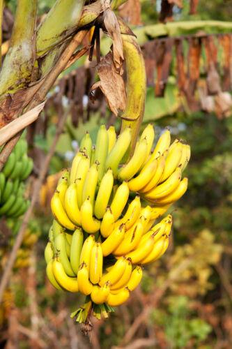 Geht auch ohne Affen: Samen, Anzucht und Vermehrung von Bananenpflanzen