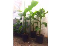 Banana trees (musa)