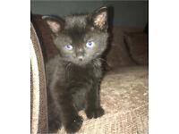 Kittens (dark brown/black & tortoise shell)