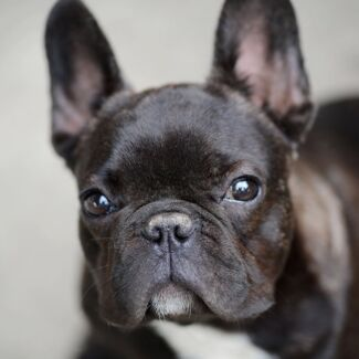 Wanted: Want a pure breed French bulldog