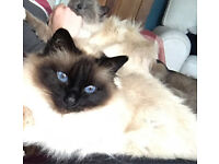 2 Adult Birman cats need a new home.