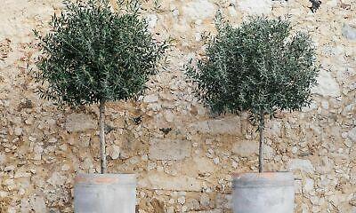 2 x Olive Tree Standard Front Door Pathway Decor Hardy Garden Plant 80-90cm Tall
