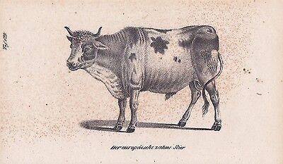 Stier Bulle Hausrind Rinder Rinderrassen LITHOGRAPHIE von 1831 Brüggemann Schinz