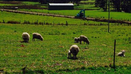 Flock of sheep West Tamar Preview