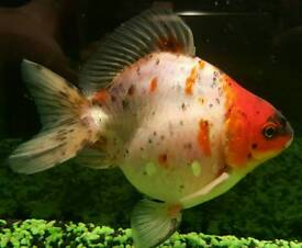 4 fancy goldfish, tank live plants and filter