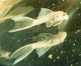 Two red or lemon longfin bristlenose