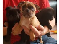 3/4th pug puppies