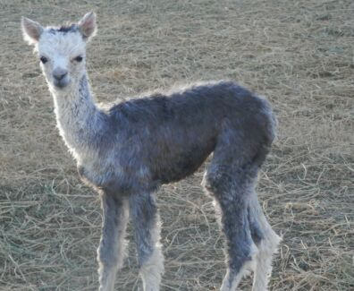 Medium Silver Grey Suri Alpaca available for Stud Service Beechmont Ipswich South Preview