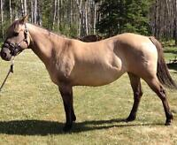 REGISTERED QUARTER HORSE