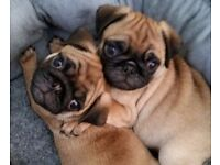 apricot kc registered pug puppies