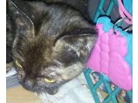 gorgeous mix exotic shorthair female kitten 4months miniature