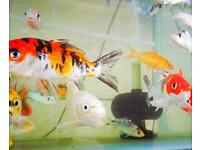 KOI CARP COLD WATER POND FISH - 2 SIZES AVAILABLE