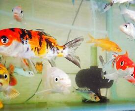 Quality koi carp cold water pond fish- new stock available now!