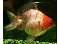 4 fancy goldfish, tank, filter and substrate