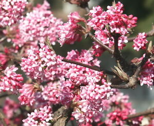 viburnum bodnantense plants ebay. Black Bedroom Furniture Sets. Home Design Ideas