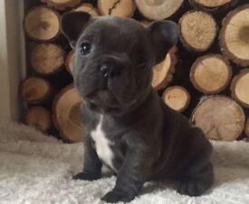 3 French Bulldog Puppies