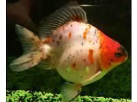 Large fancy goldfish, tank and whole setup