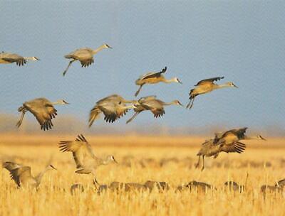 Nebraska Sandhill Crane - Postcard Nebraska Sandhill Cranes in Cornfields near Kearney Buffalo County MNT