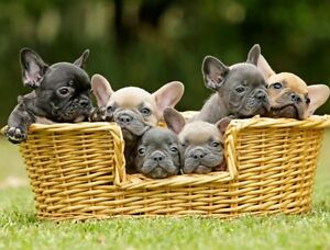 Blue French Bulldog Puppies North Sydney North Sydney Area Preview