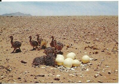 Ostrich Chicks Namibia South Africa Volstraiskuikens Bird Cows Postcard Egg