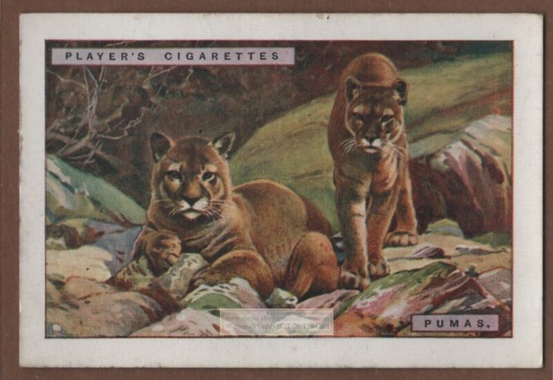 Puma  Large Wild South And North American  Feline Cat 1920s  Advertising Card