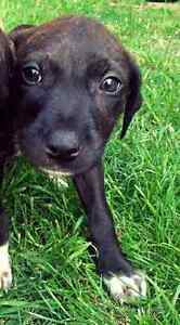 Am staffy pup Kiara Swan Area Preview