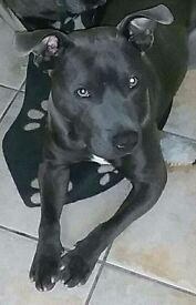 Blue Staffordshire terrier, Male, Re post due to ridiculous amount off time wasters