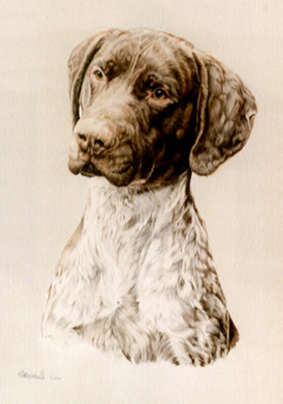 German Shorthaired Pointer Head Study Art Print by UK Artist CAH Marshall*
