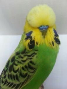 Wanted young male English Budgie