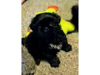 Black Shi Tzu Pedigree Puppies