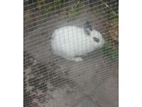Rabbits for sale 2 females 1 male