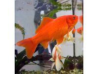 3 x Comet Goldfish & 2 x Fancy Gold (Pregnant) Fish Cold Water fish tank