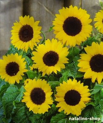 Sonnenblume 20 Samen (Sonnenblume *FINSTERNIS* 20 Samen *Niedrige *Auch als Topfpflanze *Schnittblume)
