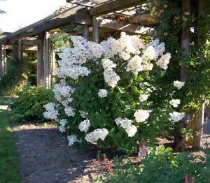 Hydrangea Paniculata Unique  - Flowering Garden Shrub
