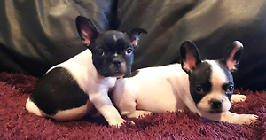 Pedigree french bulldog puppies Wallaroo Gungahlin Area Preview