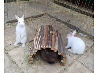 Netherland Dwarf X Baby Bunny 10 weeks